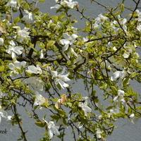 magnolia już przekwitająca