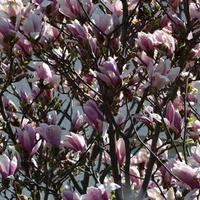 Magnolia w trochę lepszym wydaniu.