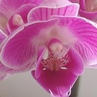 Mój storczyk w fioletowym kolorze