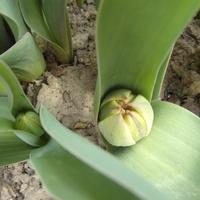 Moje tulipany jeszcze zwinięte,