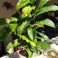 Multiflora, kwitnie co chwila :)