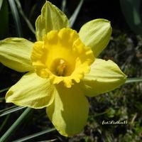 Narcyz ,wiosenny kwiat