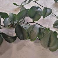 Scindapsus pictus 'Treubii'