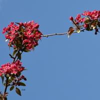 Niektóre drzewa kwitną na czerwono