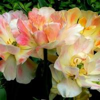 niesamowity tulipan