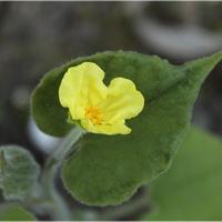 Niewielki kwiat sarumy...