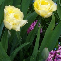 Żółte tulipany pełne