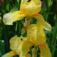 Żółty irys