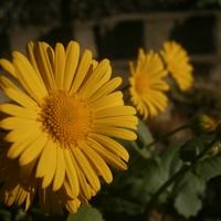 Ogrodowe słoneczka