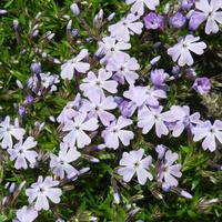 Płomyk fioletowy