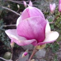 Pechowa magnolia.