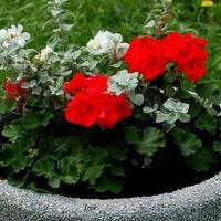 pelargonia i białe kwiaty