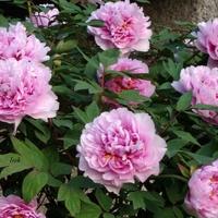 piwonie biało-różowe