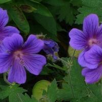 Prawie niebieskie kwiatki