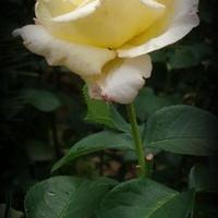 róża biało-kremowa