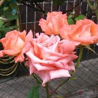 Róża o nazwie FOLKLORE.
