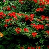 rododendron czerwony