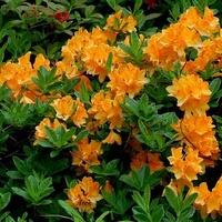 rododendron pomarańczowy