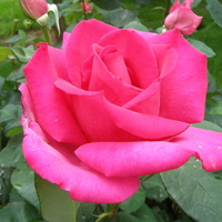 Róza o nazwie PAROLE