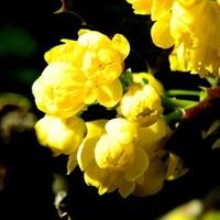 Słoneczne kwiaty mahonii