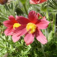 Sasanki kwiaty wiosny