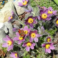 Sasanki w moim ogrodzie