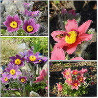 Sasanki, wiosenne kwiaty