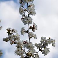 spotkana gałązka kwitnąca