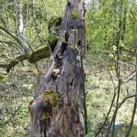 Stara leżąca jabłoń w lesie....