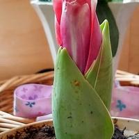 tulipan będzie kwitł