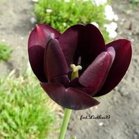 Tulipan ciemny fiolet