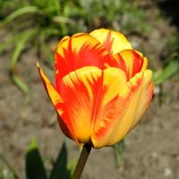 Tulipan żółto-czerwony