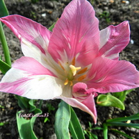 Tulipan różowo-biały