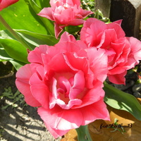 Tulipan różowy