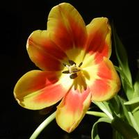 Tulipan  ,wiosenny kwiat