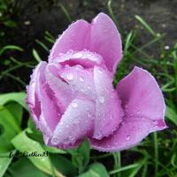 Tulipan z kroplami deszczu