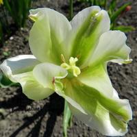 Tulipan zielony