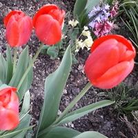 Tulipanki-coś się wreszcie ruszyło.