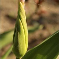 Tulipanowy świderek...