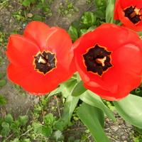 Tulipany czerwone