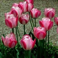 tulipany dwukolorowe z nóżkami