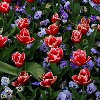 tulipany i bratki