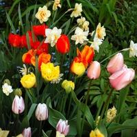 Tulipany i inne