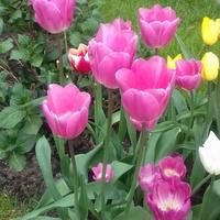 Tulipany o nazwie BARCELONA.