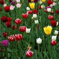 tulipany różnych odmian