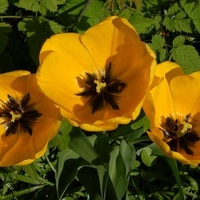 Tulipany z lotu ptaka