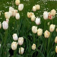 tulipany z wzorkiem