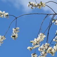 w parkach kwitną drzewa