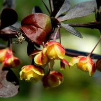 Wśród kwiatuszków berberysu:)