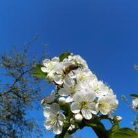Wiśnia ,kwitną drzewa owocowe